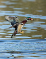 Wood Duck on approach