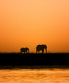 Elephants at Sunset along the Chobe River
