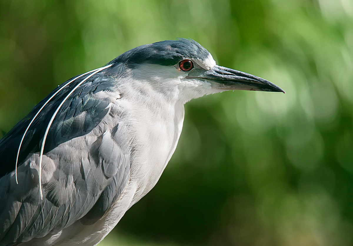 Portrait of a Black-crowned Night Heron