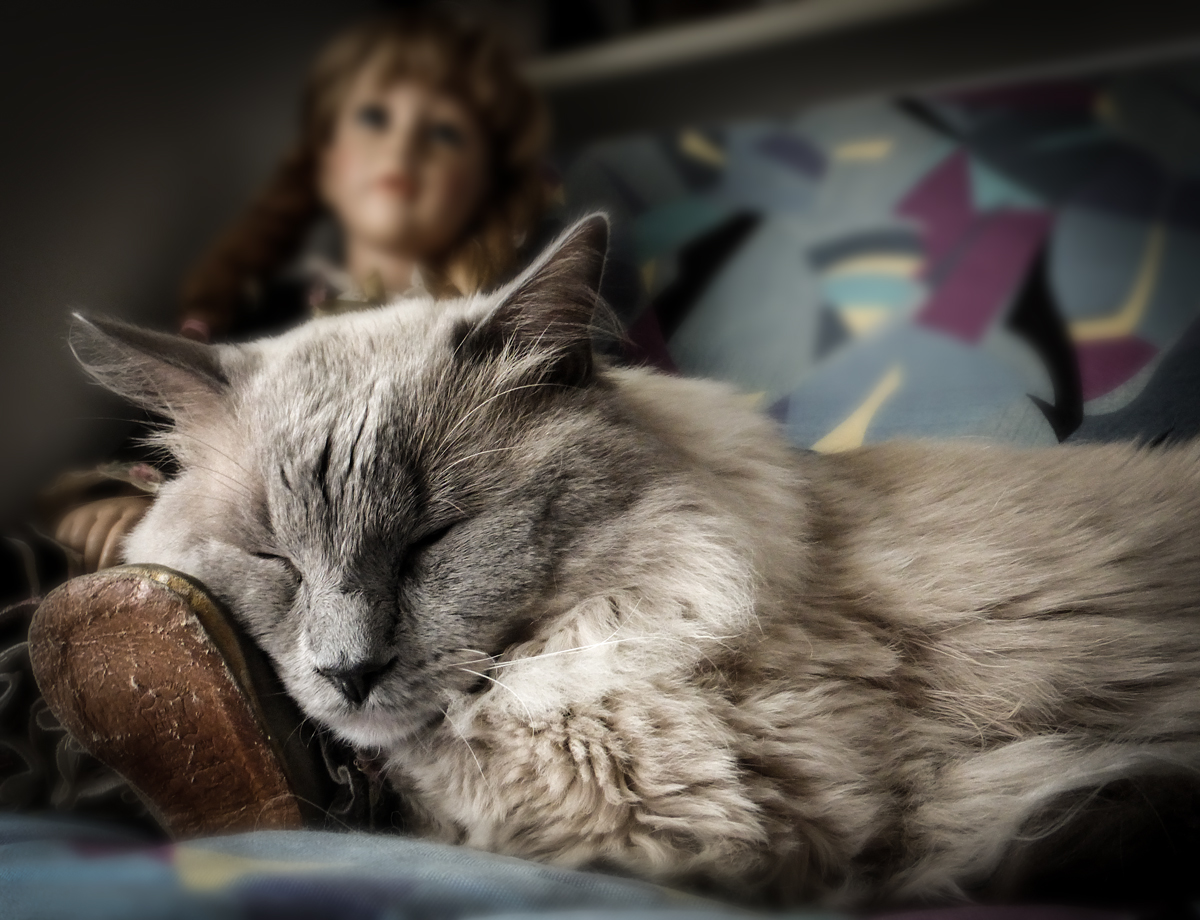 Ragdoll Dreams