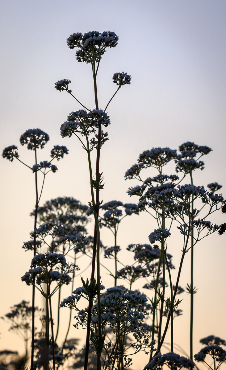 Sunset on the Anthriscus sylvestris