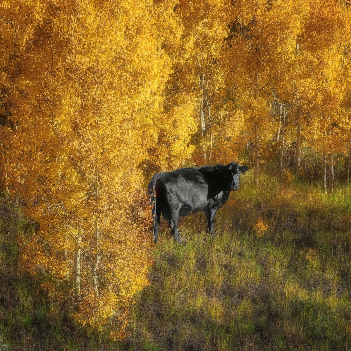 The Cow's in the Aspen