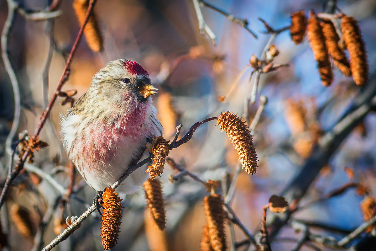 Male Redpoll feasting on Birch Catkins