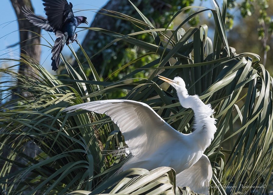 The Grackle and the Egret