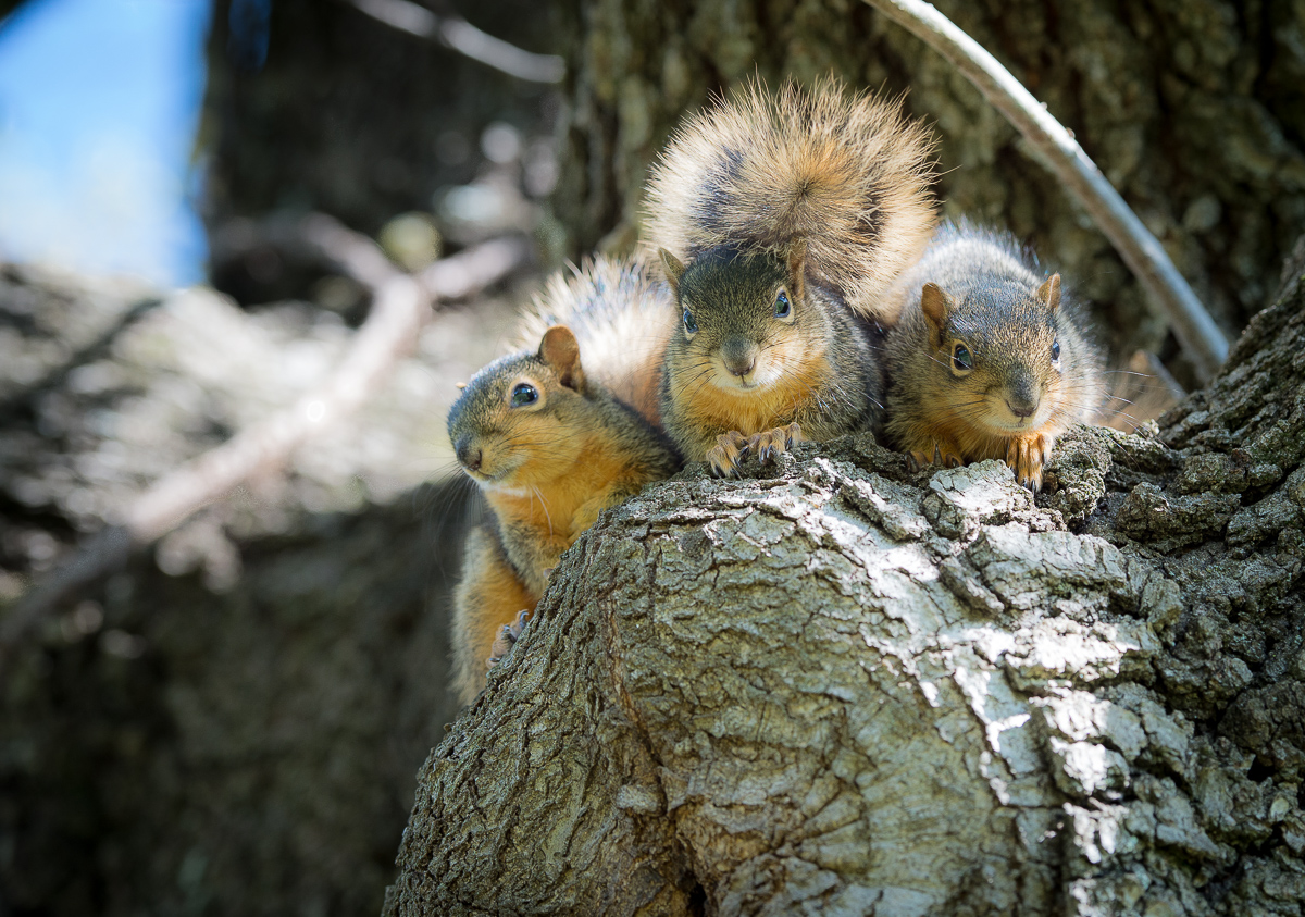 Squirrel Trio.