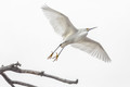 Migration of the Snowy Egret
