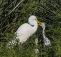 Hungry Egret baby