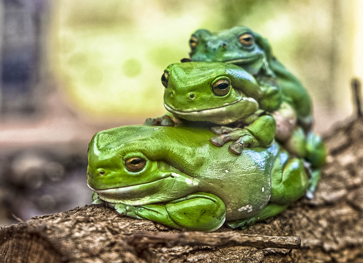 Green Three Frogs