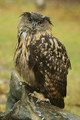 Eagle-owl in the rain