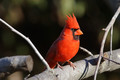 Very Red Male Cardinal