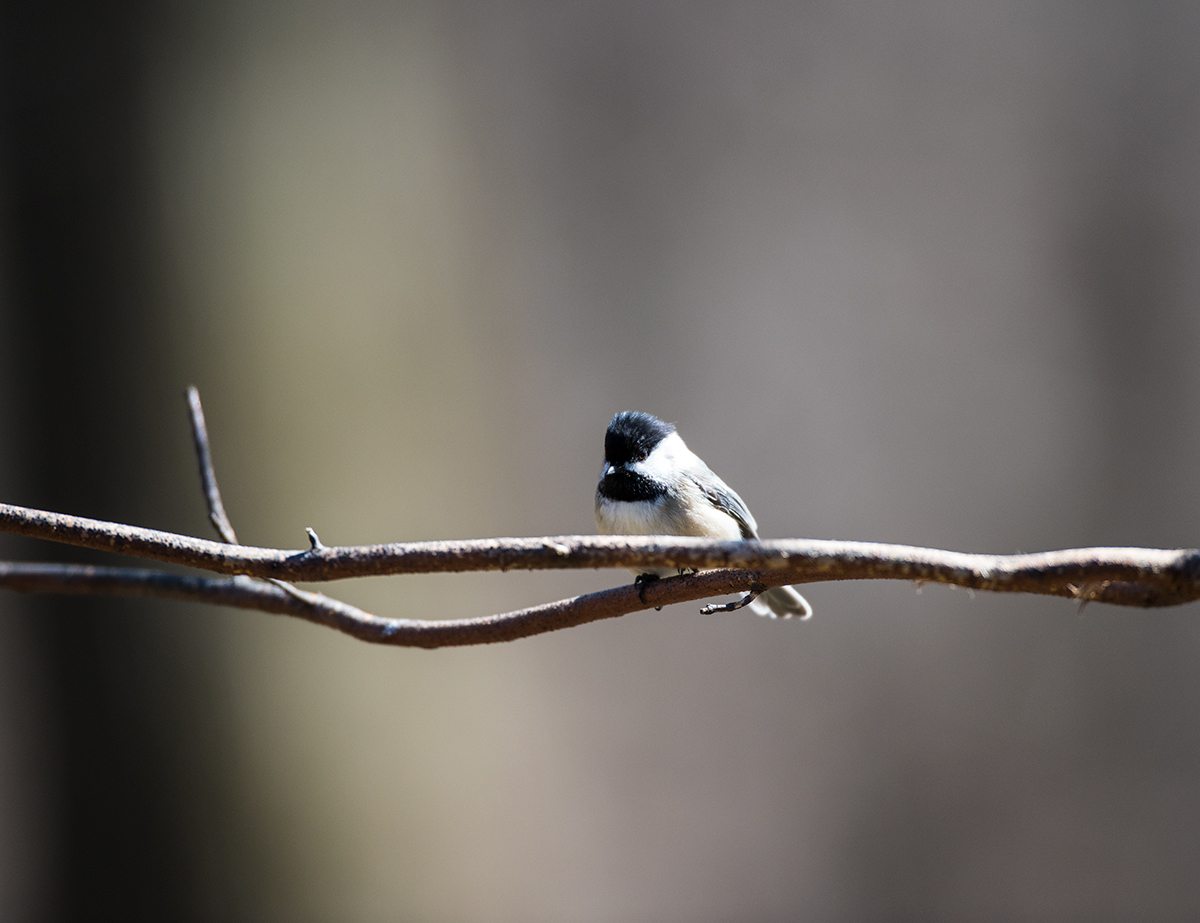 Lonely Chickadee