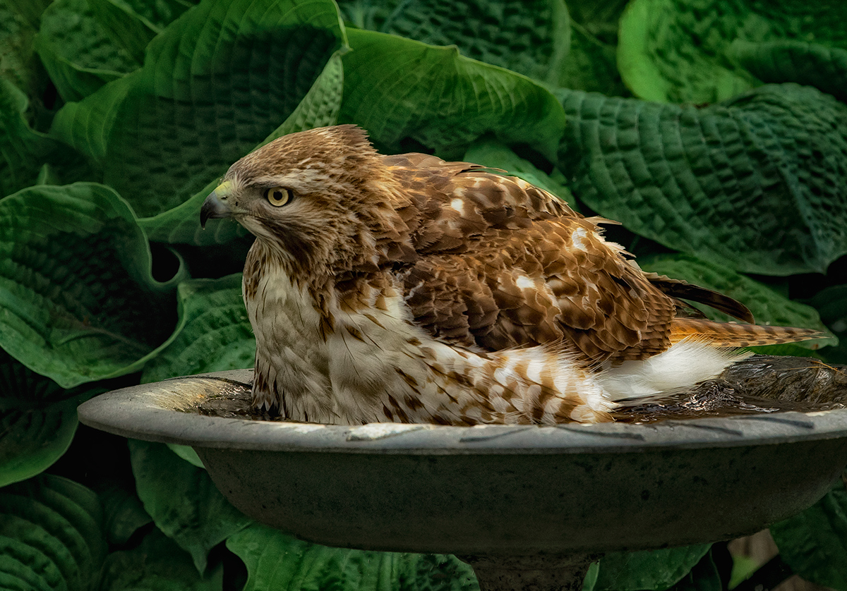 Hawk in the Birdbath! OMG!