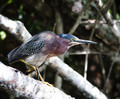 Stealth ~ Green Heron