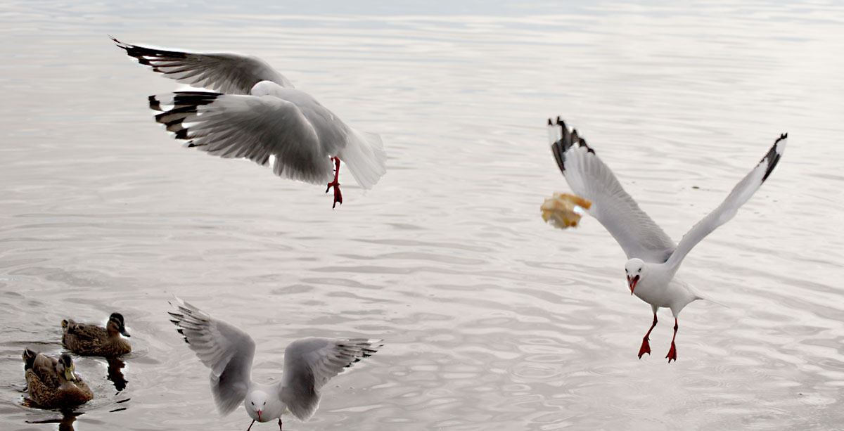 seagulls in Flight...Looking for bread .