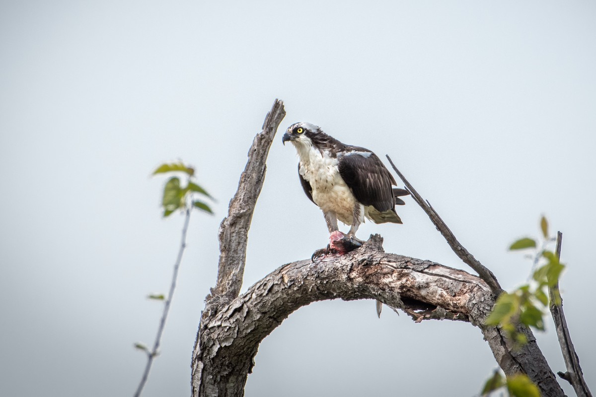 Osprey with half-eaten fish