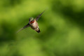 Ready to Dive - Ruby Throated Male Hummingbird