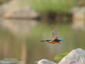 Common Kingfisher in Flight