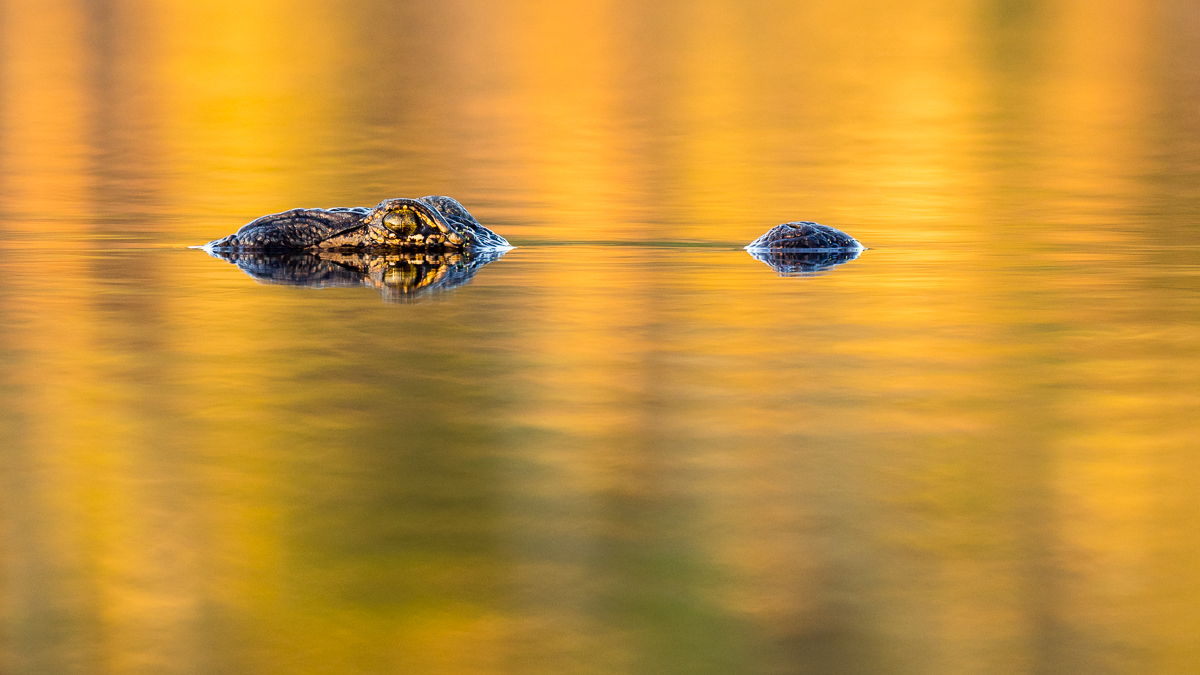 Golden Gator