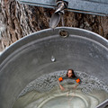 Swimming in maple sap...now, how to get out?