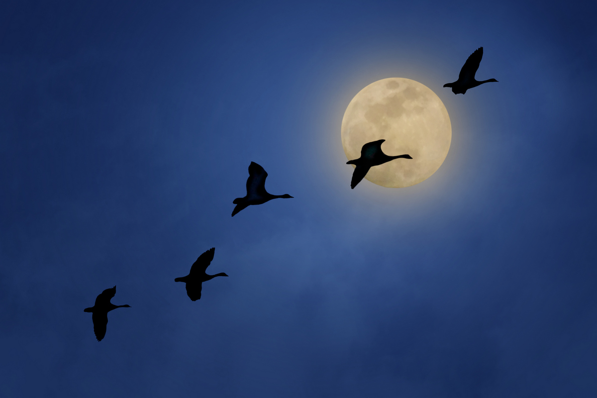 Full Moon and Geese