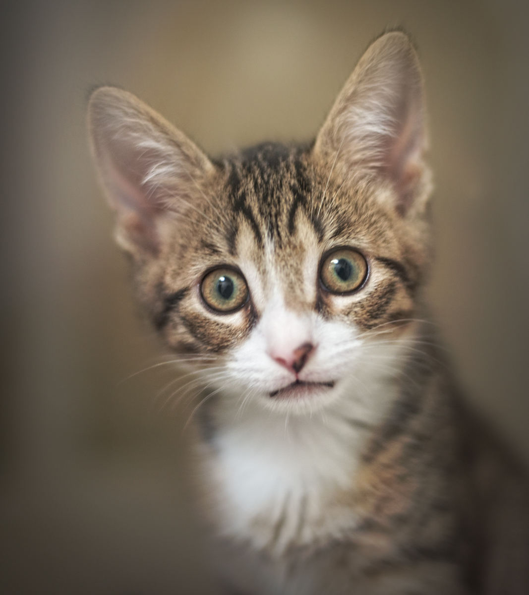 Portrait of a Kitten