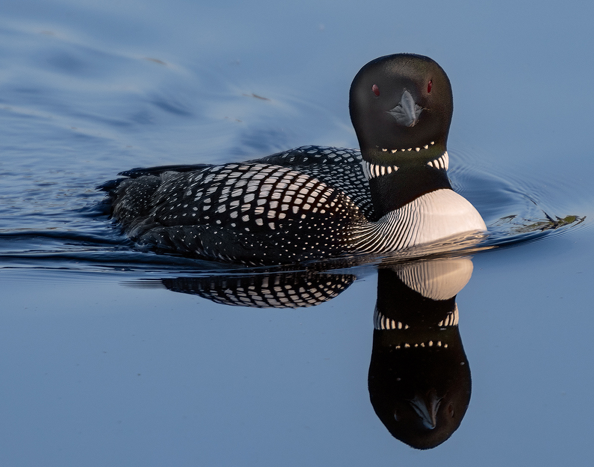 Loon Reflected