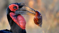 Portrait of a Southern Ground Hornbill