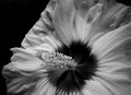 Flower in Black & White