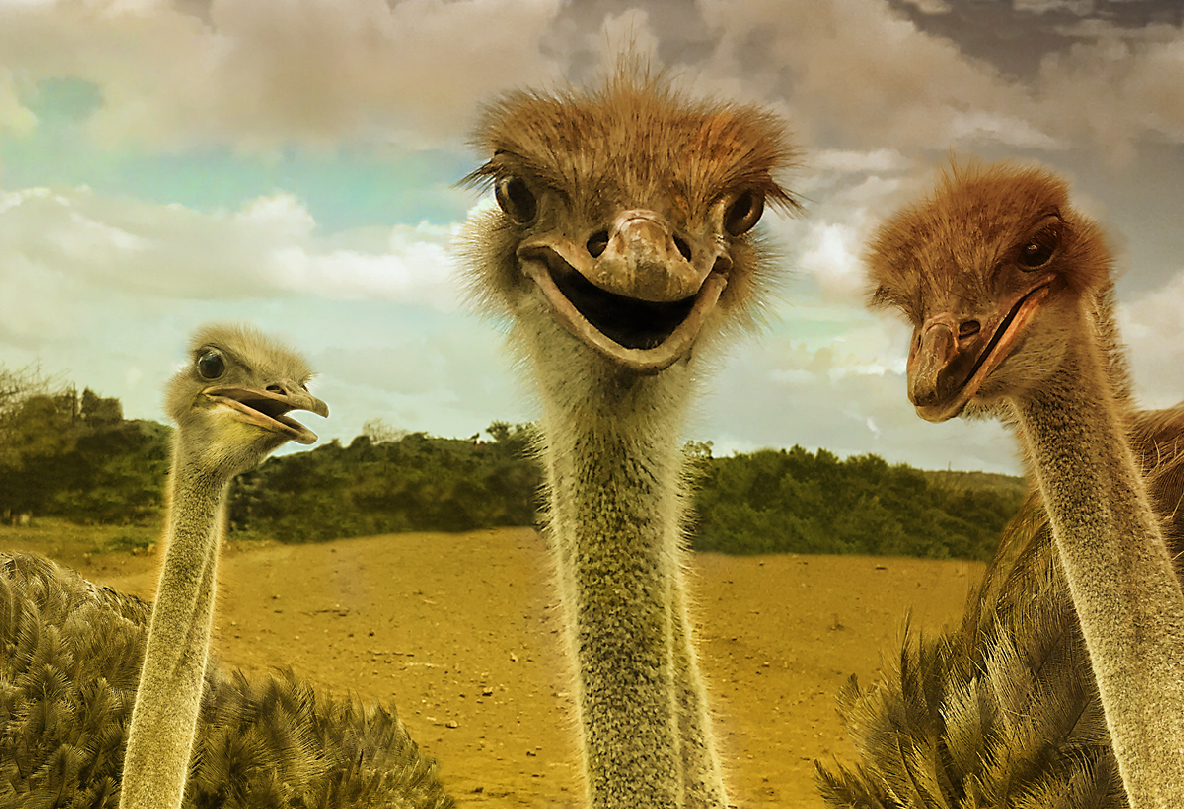 Ostriches on the Serengeti