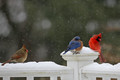 2 Cardinals And A Bluebird