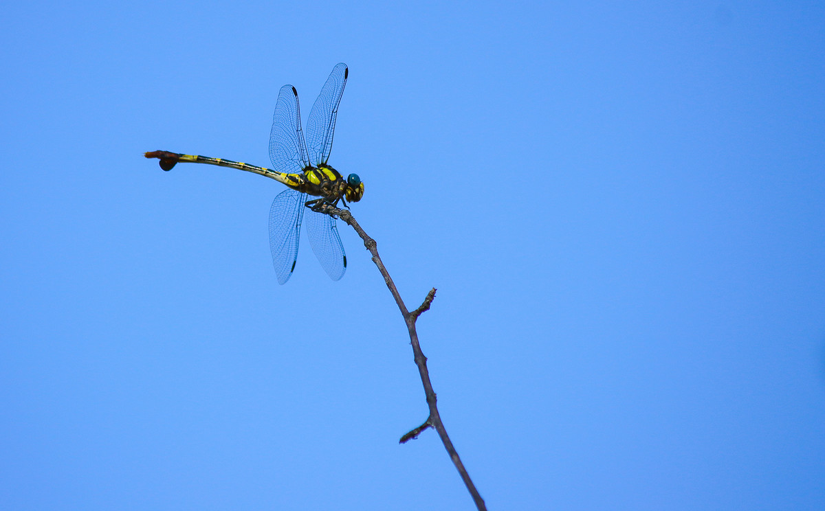 Dragonfly from below