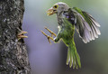 Lineated barbet dpc