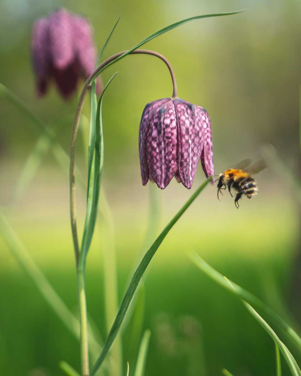 Fritillary with Bee