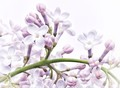 Lilacs in the breeze