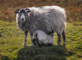 Someone to Watch Over Ewe