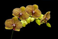 Phalaenopsis Orchid - Apricot