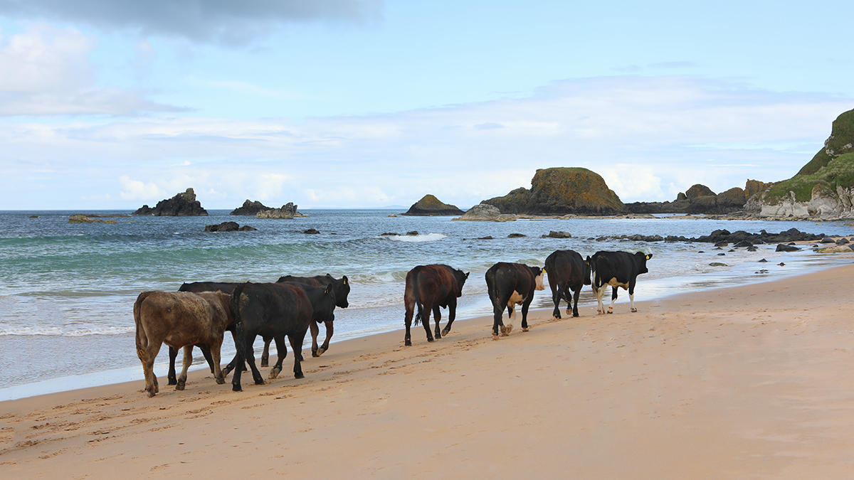 Cow friendly beach
