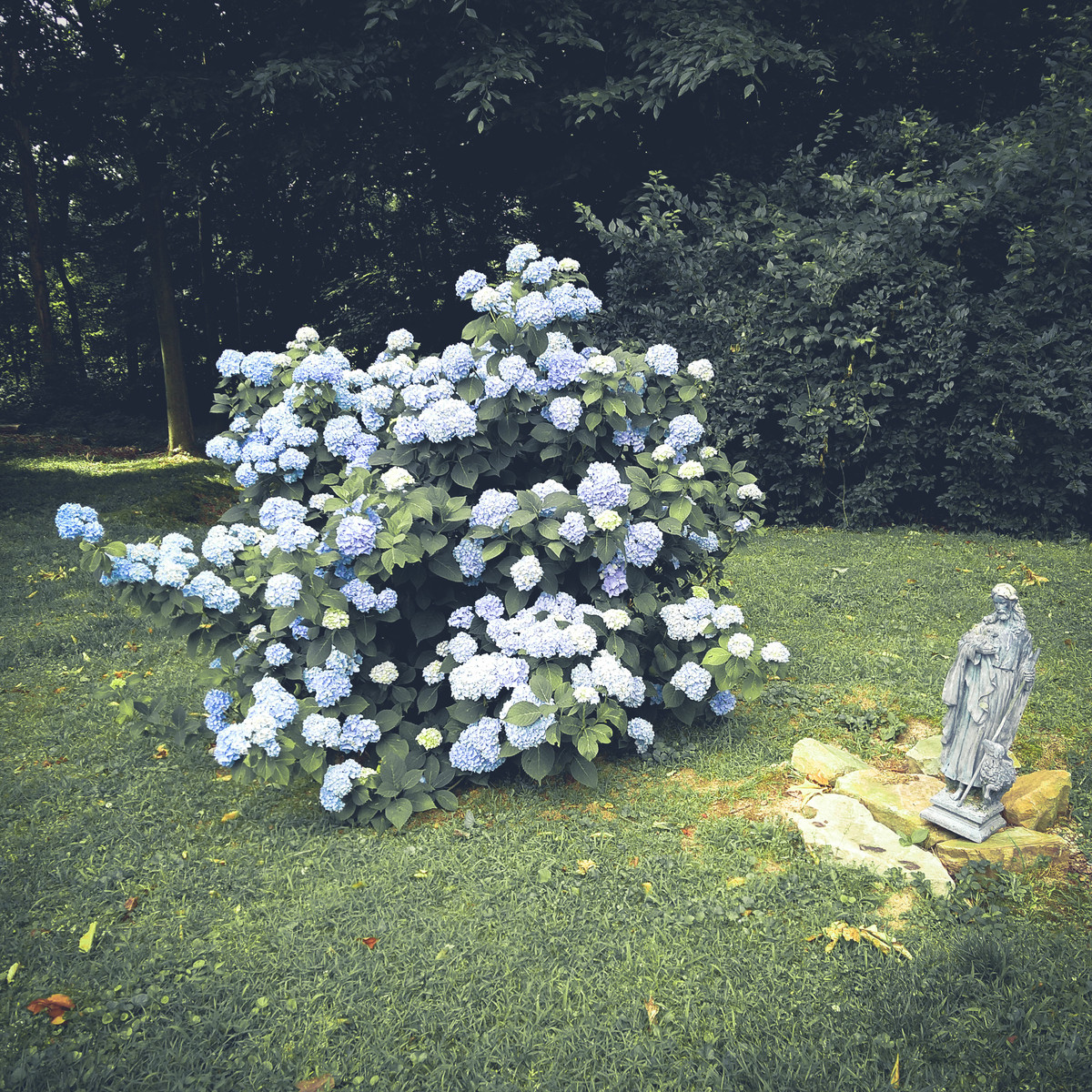 crooked Jesus and the blessed hydrangea