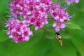 Hoverfly and Spirea