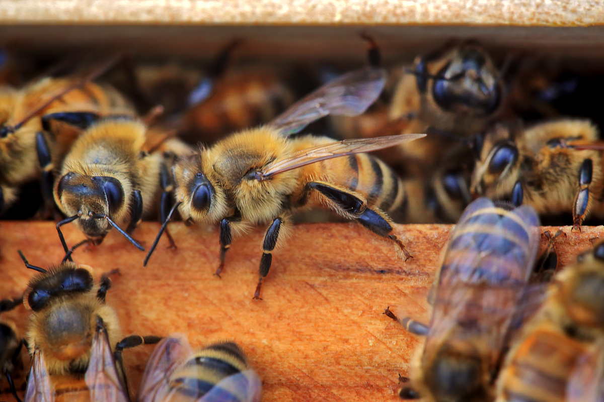 The life and the plight of the honey bee