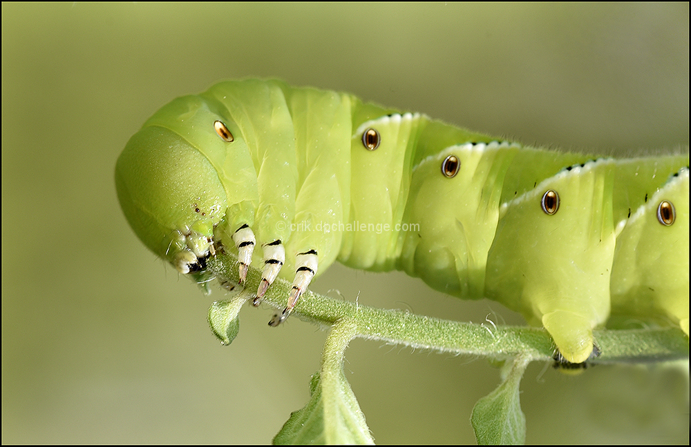 Tomato Hornworm at Work