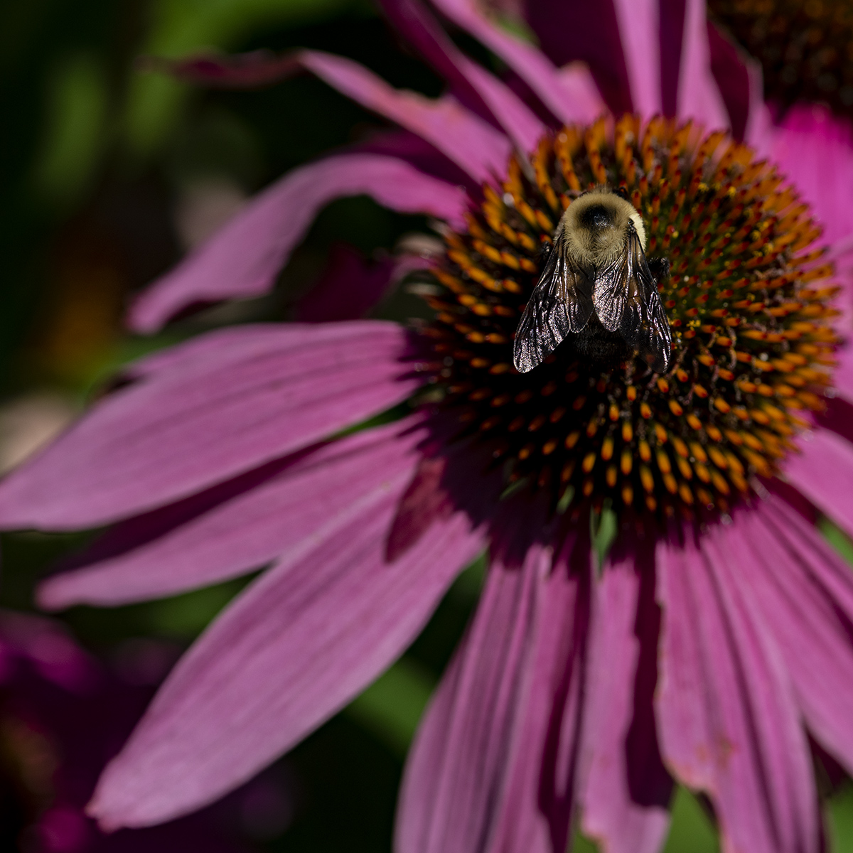 Bumble, Coneflower