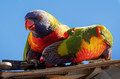 rainbow lorikeets - sugar thieves extraordinaire!!