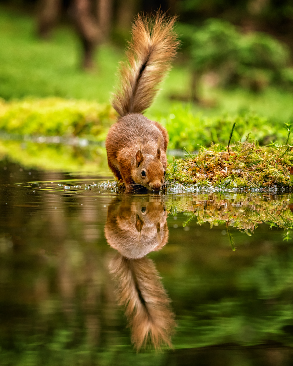Red Squirrel Reflections