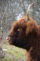 Portrait of a young Highland Cow