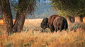 The Lonely Bison