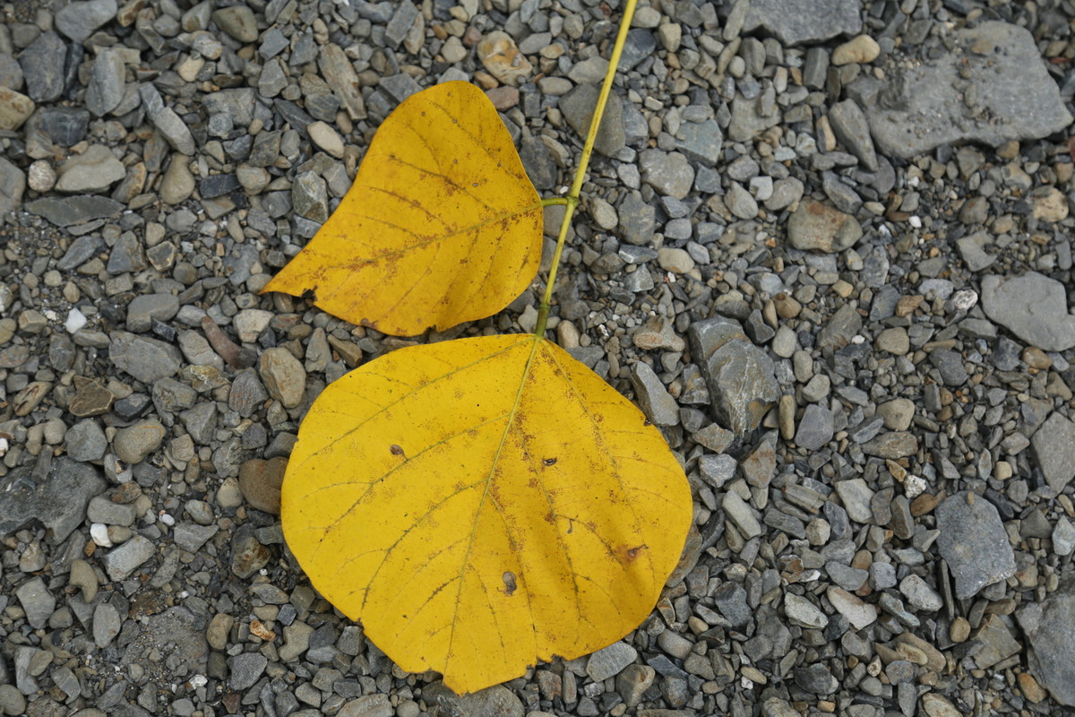 And Leaves Turn Yellow