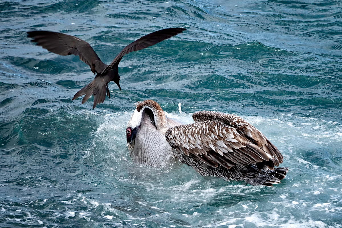 Feeding Pelican, Brown Noddy, and  Kleptoparatism