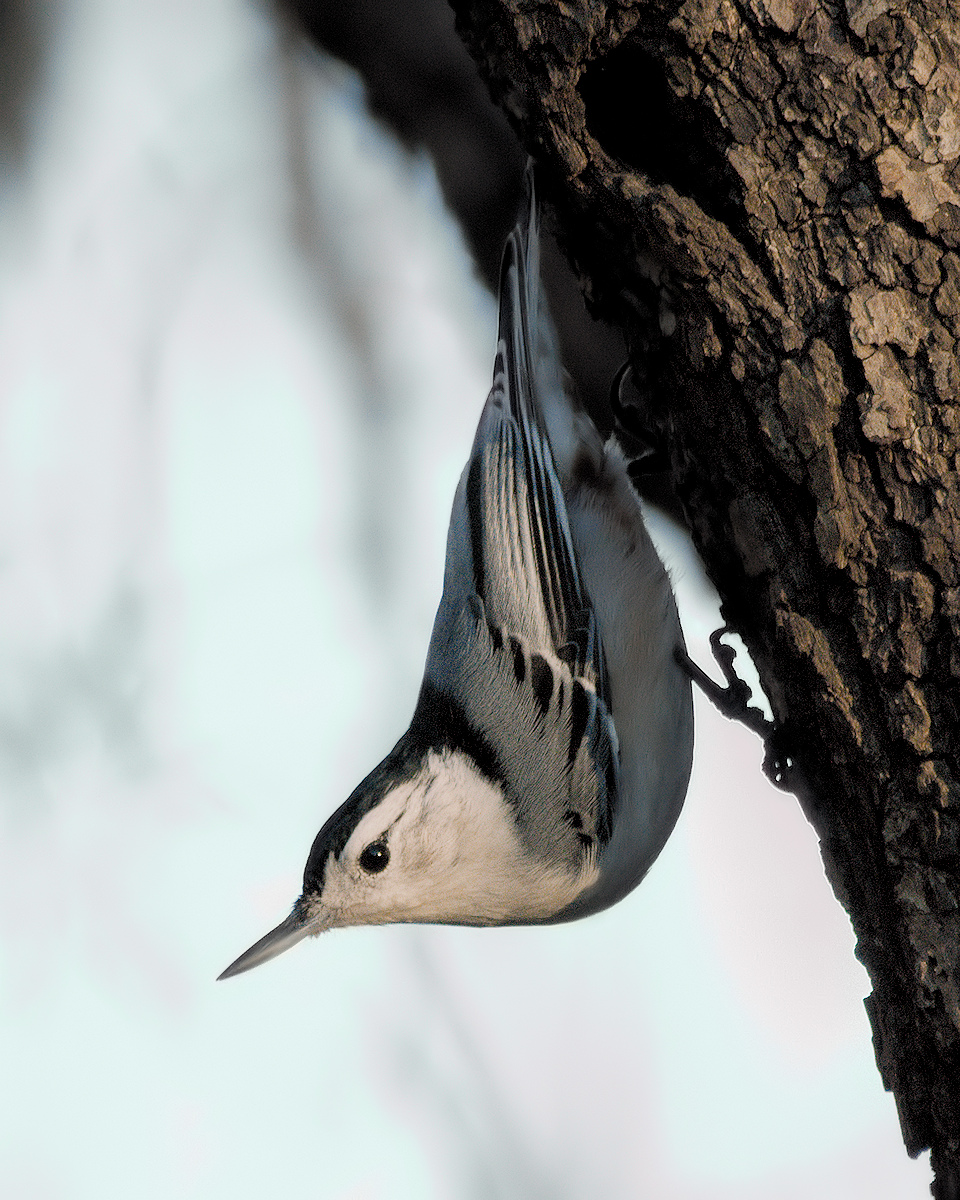 Nuthatch (Use my long telephoto lens more this year)