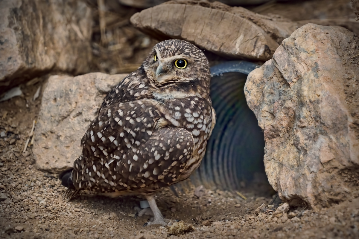 Burrowing Owl and Culvert